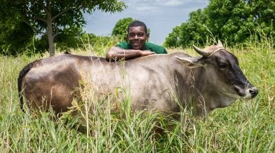 Haiti-Client-Auguste-Jean-Soliny-with-His-Cow
